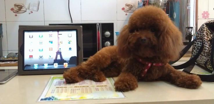 家养2个月微小红泰迪出售灰常可爱哦有图有真相妈妈是