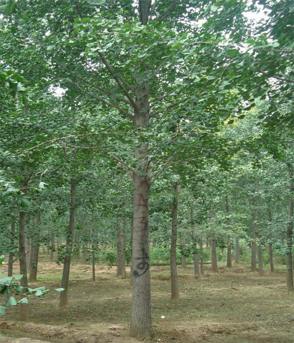世界最大银杏苗木基地常年提供银杏树