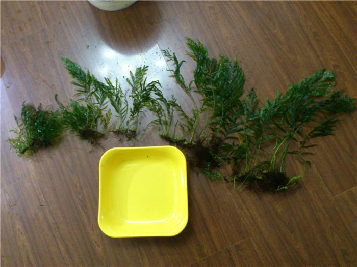 黑木蕨,各种椒草