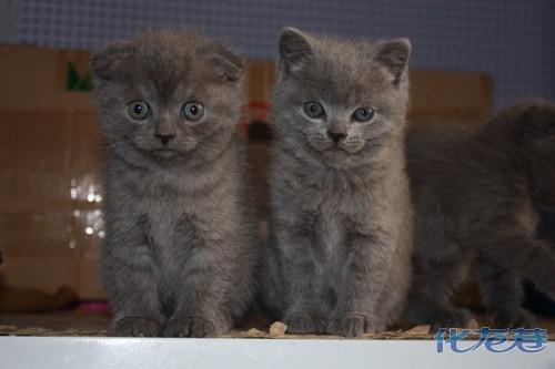 可爱滴折耳小蓝猫50天照片,大家来围观!